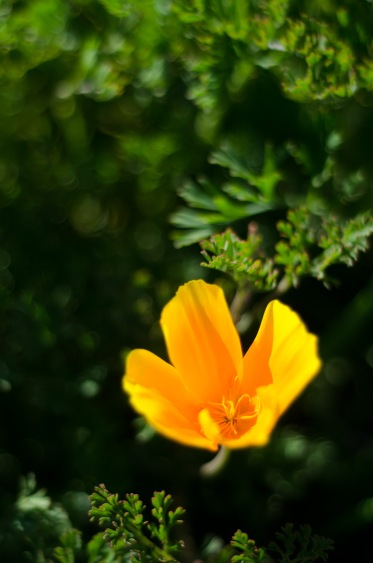 California poppy, My Front Yard