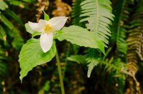Trillium, Arcata Community Forest