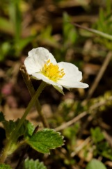 Wild strawberry, Lyon's Ranch, Redwood National Park