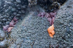 Ochre Stars between Mussels and Anemones