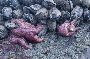 Sea Stars with their Mussel Prey
